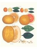 Kumquat and Grapefruit Posters