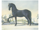 Horse Le Napolitain Posters