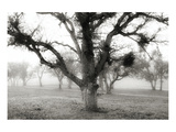 Oak Tree in the Fog Prints by Shane Settle