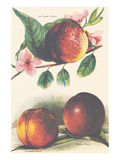A Study of Nectarines Art
