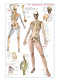 Skeletal System Prints