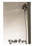 Tall Palm Affiches par Shane Settle