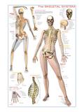 Skeletal System Posters