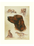 Irish Setter Posters by Libero Patrignani