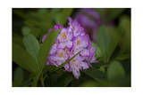 Pink Rhododendron Photographic Print by Henri Silberman