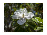 White Magnolia Blossom Close-Up 4 Photographic Print by Henri Silberman