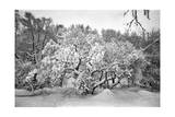 Snow Covered Tree Prospect Park Photographic Print by Henri Silberman