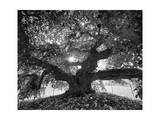 Under the Camperdown Elm Prospect Park Photographic Print by Henri Silberman