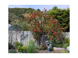 Bottle Brush and Wooden Fence Photographie par Henri Silberman