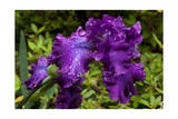 Raindrops on Purple Iris Photographic Print by Henri Silberman