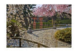 Cherry Blossoms in Japanese Garden Photographic Print by Henri Silberman