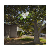 Flower on Magnolia Tree Front Yard Photographic Print by Henri Silberman