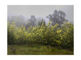 Flowering Acacia Trees in Fog Photographic Print by Henri Silberman