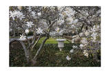 Star Magnolia Blossoms on Trees and Large Urn, Brooklyn Botanic Gardens Photographic Print by Henri Silberman