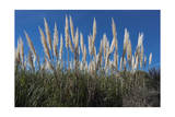 Pampas Grass Photographic Print by Henri Silberman