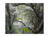 Close-Up of Queen Anne's Lace Photographic Print by Henri Silberman