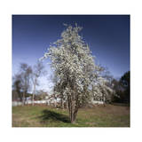 Apple Tree in Bloom Reproduction photographique par Henri Silberman