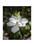 White Magnolia Blossom Close-Up 3 Photographic Print by Henri Silberman