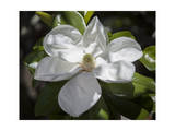 White Magnolia Blosson Close-Up 2 Photographic Print by Henri Silberman
