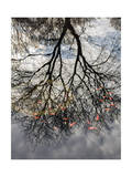 Tree Reflection and Goldfish Photographic Print by Henri Silberman