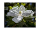 White Magnolia Blossom Close-Up Photographic Print by Henri Silberman