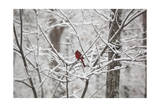 Cardinal on Snow Covered Trees Reproduction photographique par Henri Silberman