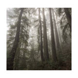 Trees in Fog 3 Photographic Print by Henri Silberman