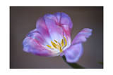 Purple Tulip Close-Up Photographic Print by Henri Silberman