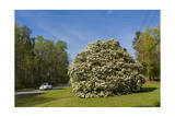 Large Flowering Shrub and Small Car Photographic Print by Henri Silberman