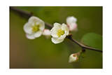 Japanese Flowering Quince Photographic Print by Henri Silberman