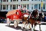 Budweiser Clydesdales Poster Photo