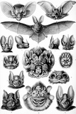 Chiroptera Nature by Ernst Haeckel Prints