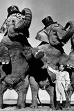Circus Elephants Standing Up Poster Photo