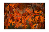 Autumn Oak Photographic Print by Steve Gadomski