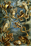 Batrachia Nature by Ernst Haeckel Prints