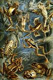 Batrachia Nature by Ernst Haeckel Prints