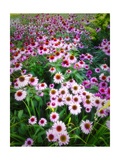 Dreamy Daisy Field Photographic Print by George Oze