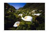 Calla Lilies in Garrapata Creek Photographic Print by George Oze