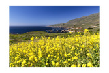 Yellow Mustard Bloom, Big Sur, California Photographic Print by George Oze