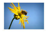 Bee Working Compass Plant Flower Photographic Print by Steve Gadomski