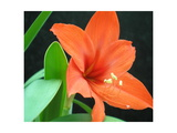 Orange Lilly Photographic Print by Herb Dickinson