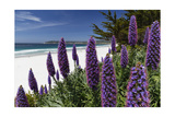 Blue Wildflowers at the Beach, Carmel, California Photographic Print by George Oze