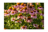 Purple Coneflower Photographic Print by Steve Gadomski