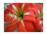 Red Day Lilly Photographic Print by Herb Dickinson