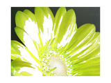 Gerber Time Green II Photographic Print by Herb Dickinson
