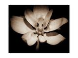 Awakening Magnolia Fotografisk tryk af George Oze