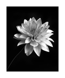 Black And White Dahlia Photographic Print by Annmarie Young