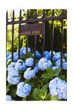 Blue Hydrangeas of Bellevue Ave, Newport, RI Photographie par George Oze