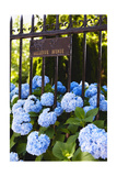 Blue Hydrangeas of Bellevue Ave, Newport, RI Photographic Print by George Oze
