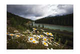 Daisies Along The Bow River, Alberta, Canada Photographic Print by George Oze